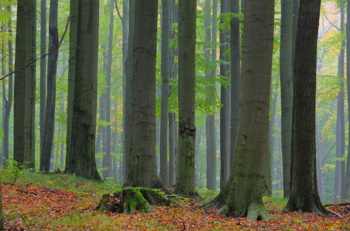 Buchenwald im Nebel